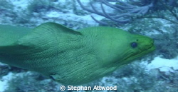 Free swimming green morey - got quite close to me. by Stephan Attwood 